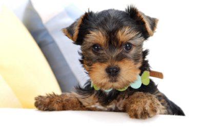 Все важные и необходимые сведения о щенках йоркширского терьера