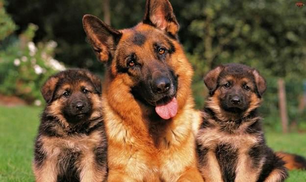 Щенки и взрослый пес