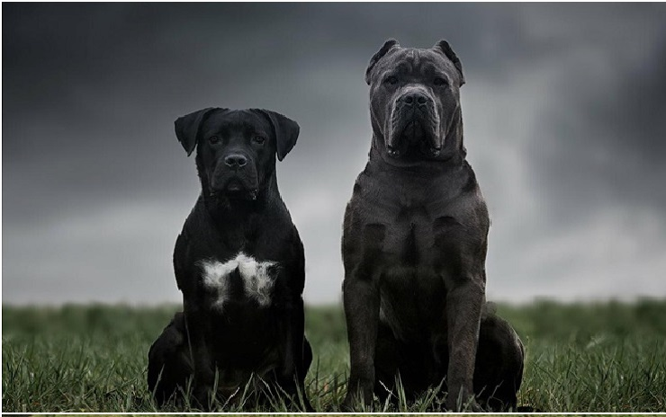 Кане-корсо – древняя порода собак