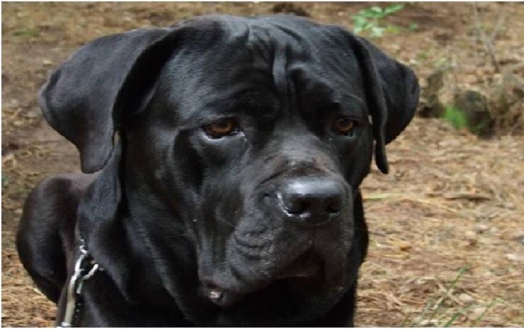Кане-корсо: плюсы и минусы этой породы собак, описание, характер, фото, видео, цены