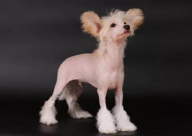 Маньчжурская голая собака