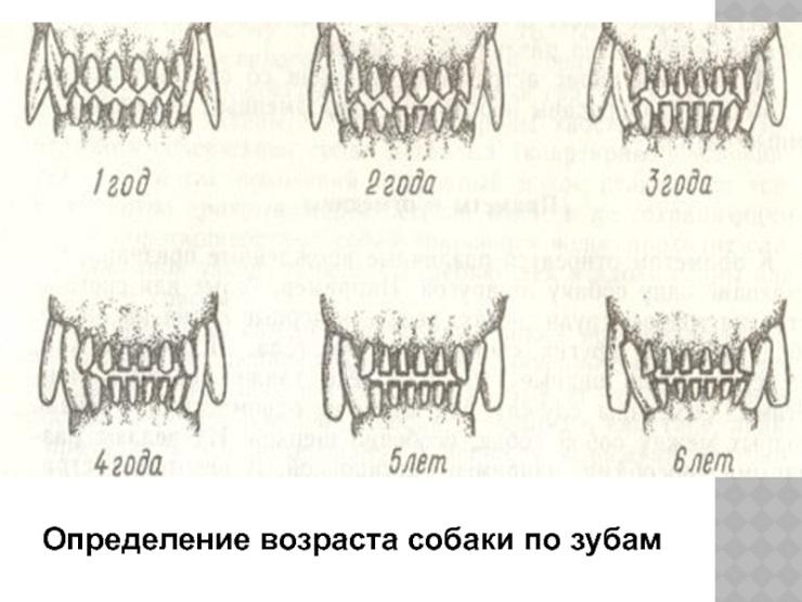 Возраст собаки по зубам