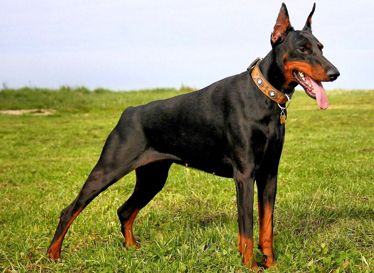 Породы больших короткошерстных собак